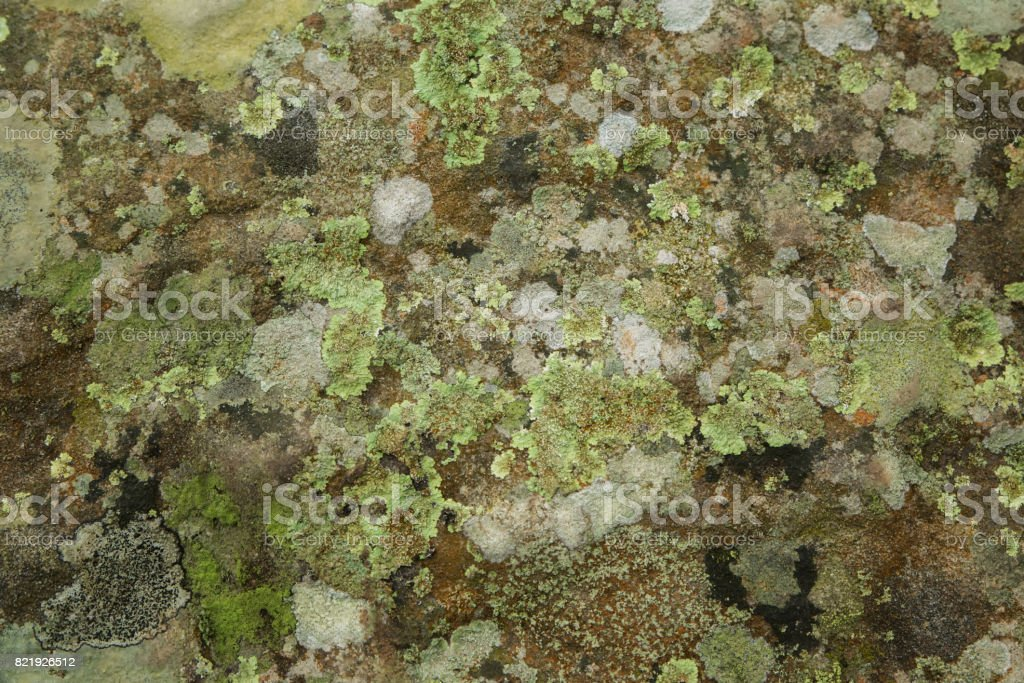 Lichen growing on stone , Lichen for background stock photo
