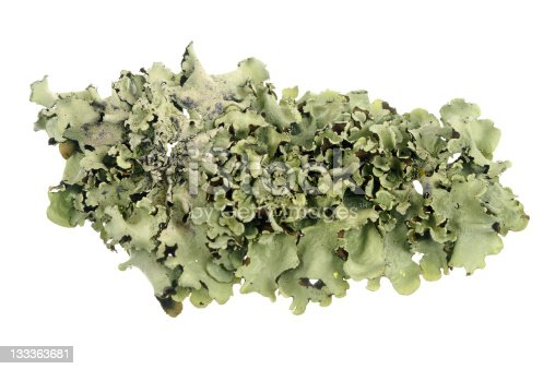 A piece of lichen isolated on white.
