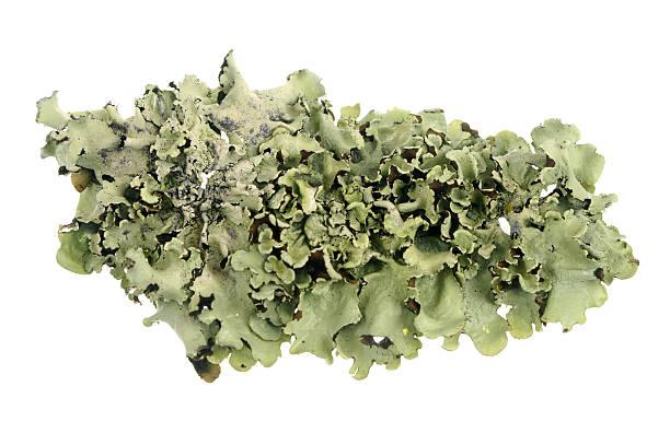 liquen aislado en blanco - algas fondo blanco fotografías e imágenes de stock