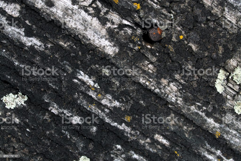 Lichen moss growing on the bark of a tree. Texture of tree bark with dry moss. stock photo