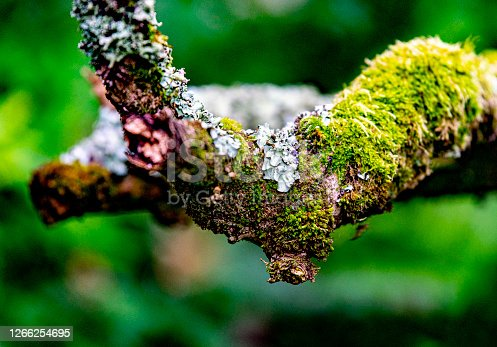 Close up of a variety of green, grey and yellow lichens on an old apple tree branch. Still moist with dew.