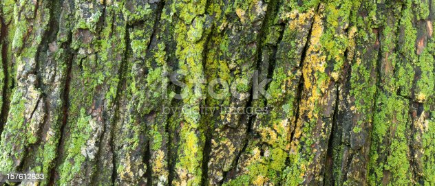 Extra large and wide panorama format close up, detailed view of lichen on an old maple tree. See my other versions.