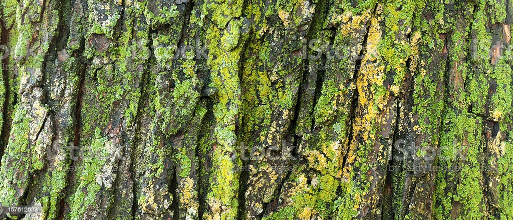 Lichen on an old maple tree​​​ foto
