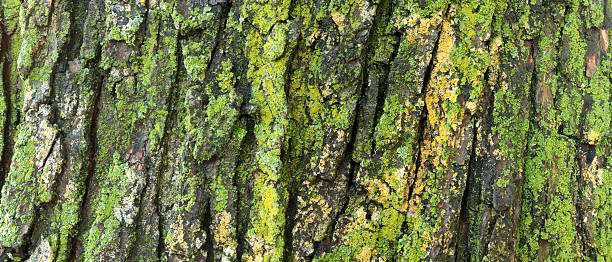 Lichen on an old maple tree stock photo