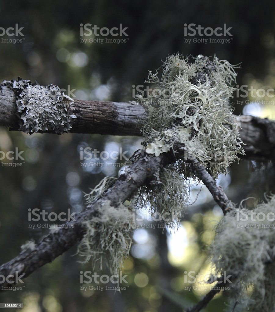 lichen on branches royalty-free stock photo