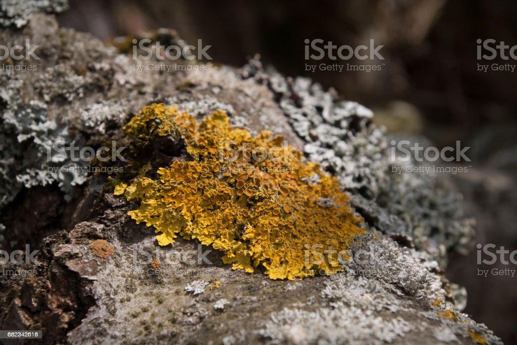 Lichen, xantoria royalty free stockfoto