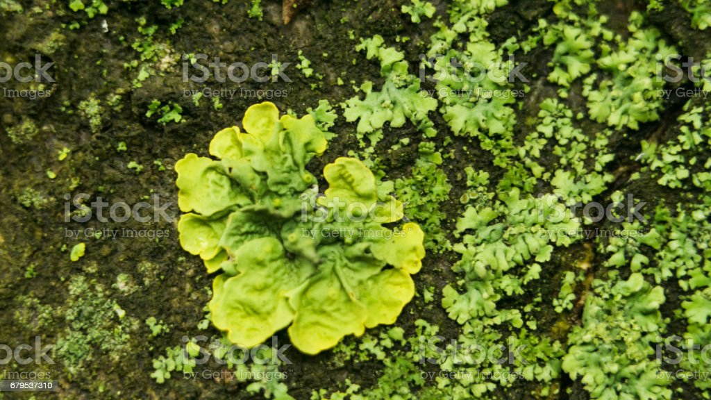 Lichens are symbiotic fungi and algae. They are able to grow on the rocks clean and often form on the rocks and stones beautiful patterns Lichen on a green stone royalty-free stock photo