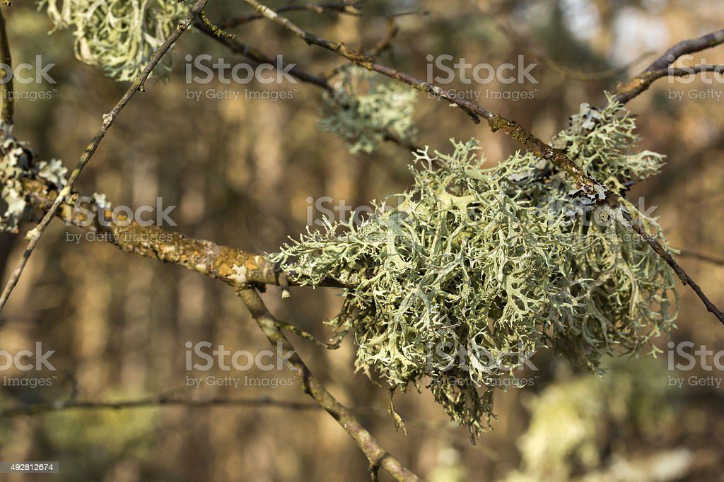 Lichens of colors on  tree branch stock photo