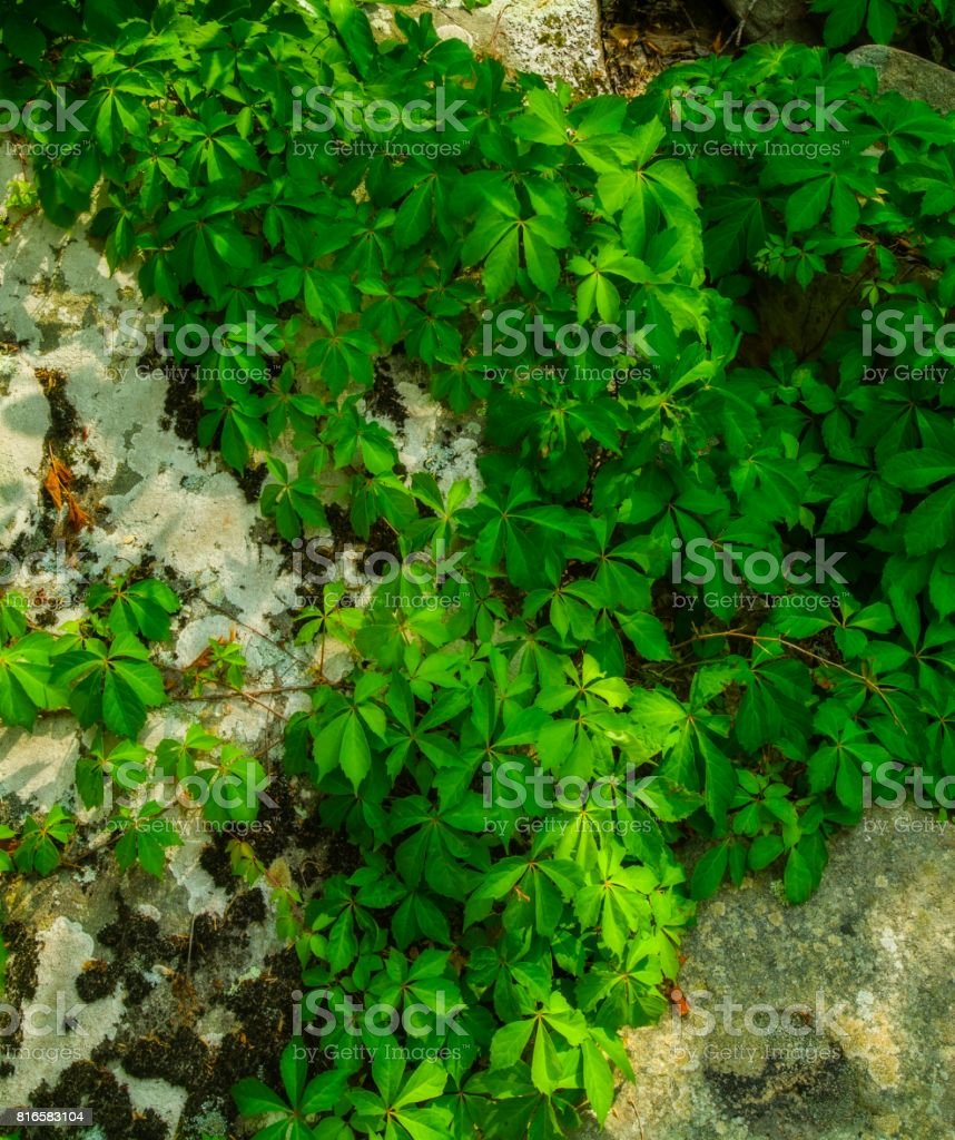 Lichens & Vines on a Boulder stock photo