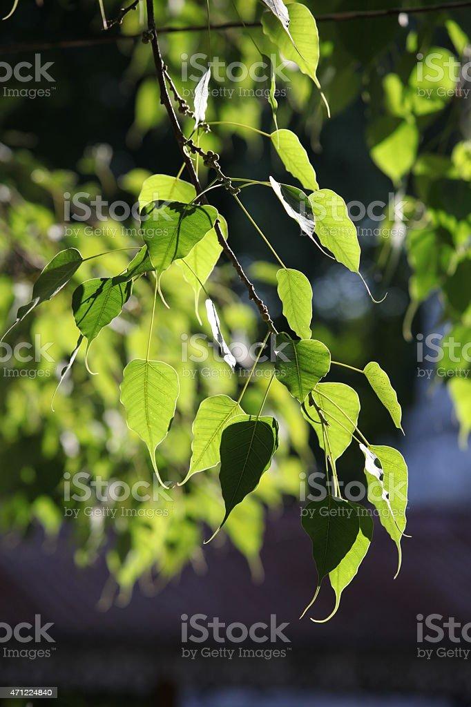 Liście drzewa boddhi w blasku słońca stock photo