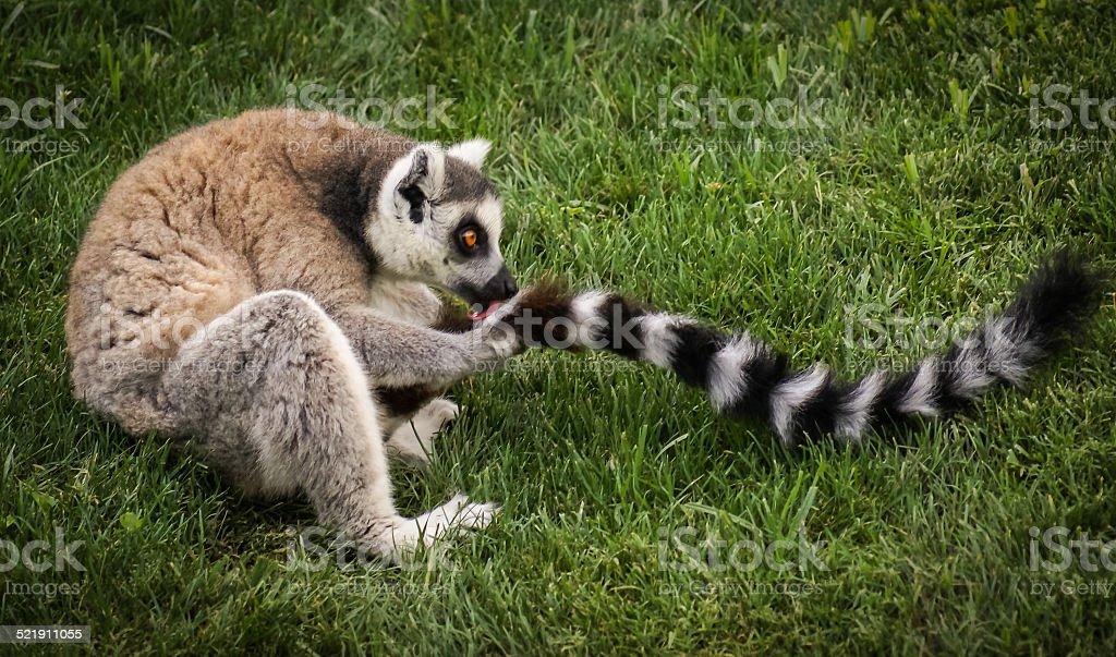 Licking his tail lemur, Valencia, Spain stock photo