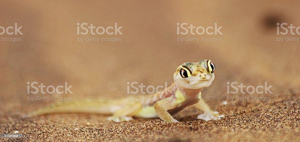 licking web-footed Gecko, Palmatogecko (Pachydactylus rangei) stock photo