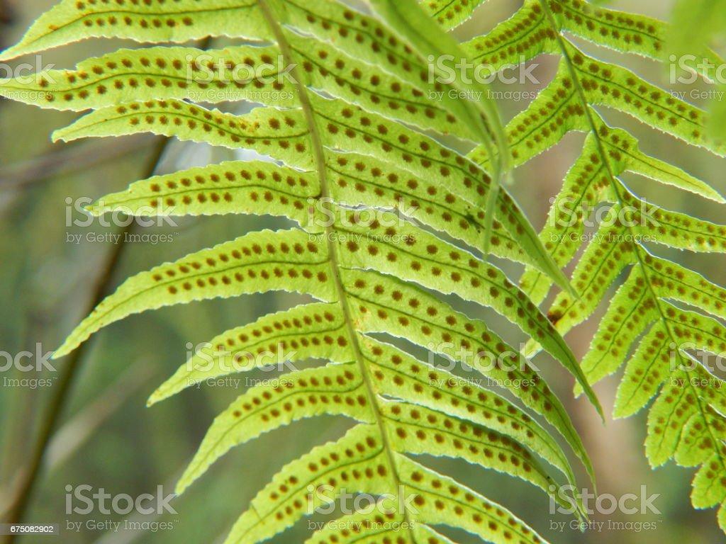 Licorice fern illuminated stock photo
