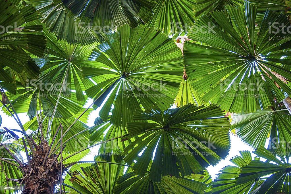 fan palm. licuala fan palms stock photo palm l