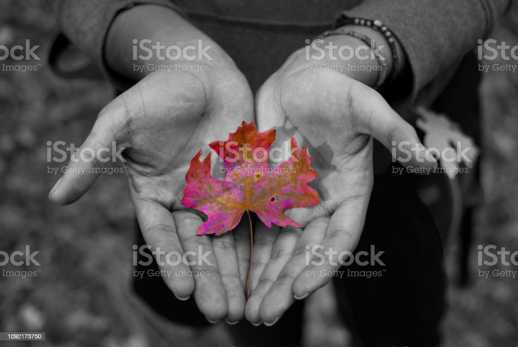 Selective desaturation of human hands holding fallen leaf in the...