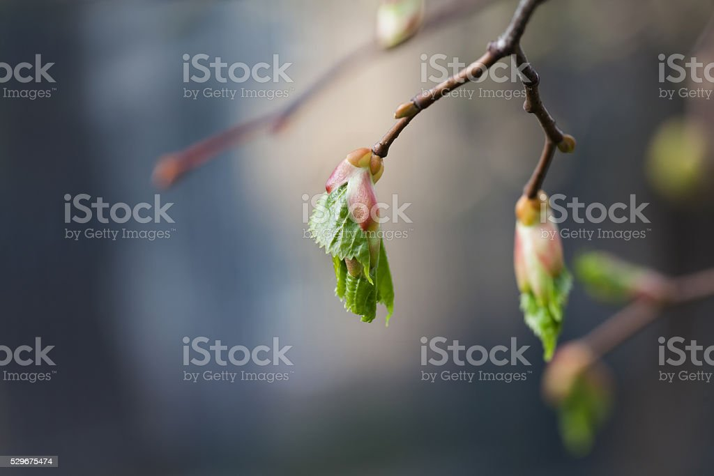 Life cycle concept. Birch buds, embryonic shoots with fresh green stock photo