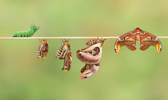 istock Life cycle of attacus atlas moth 530433316