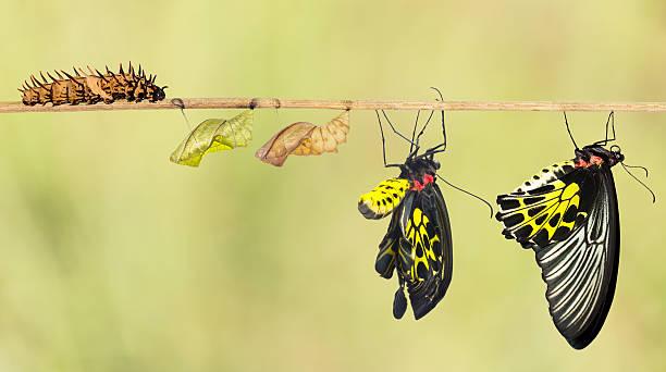 Life cycle of common birdwing butterfly picture id511317834?b=1&k=6&m=511317834&s=612x612&w=0&h=nttjnpyhj8cencevbzsxjphkfh fyefku7wzzto6uhi=