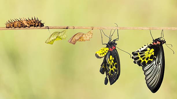 life cycle of common birdwing butterfly - changing form stock pictures, royalty-free photos & images