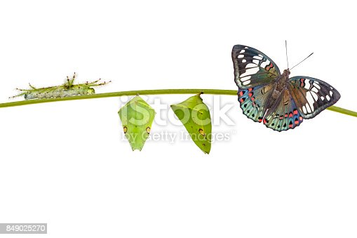 istock Life cycle of Common Gaudy Baron butterfly ( Euthalia lubentina ) on white 849025270