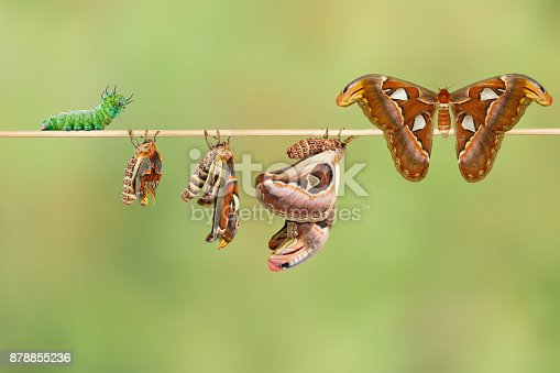 istock Life cycle of female attacus atlas moth from caterpillar and cocoon 878855236