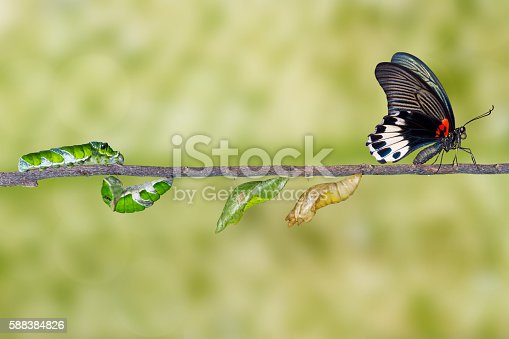 538988558istockphoto Life cycle of female great mormon butterfly from caterpillar 588384826