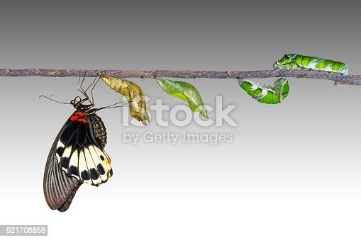 538988558istockphoto Life cycle of female great mormon butterfly 521708858