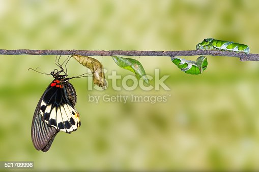 538988558istockphoto Life cycle of female great mormon butterfly 521709996