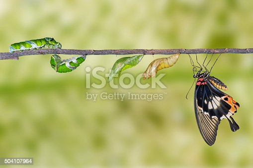 538988558istockphoto Life cycle of great mormon butterfly 504107964