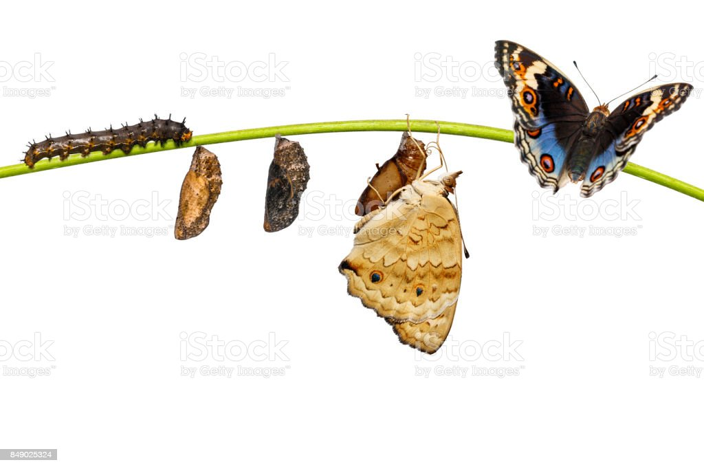 Life cycle of male blue pansy butterfly ( Junonia orithya Linnaeus ) on twig Life cycle of male blue pansy butterfly ( Junonia orithya Linnaeus ) from chrysalis and chrysalis on twig Abdomen Stock Photo