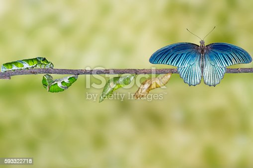 538988558istockphoto Life cycle of male great mormon butterfly from caterpillar 593322718