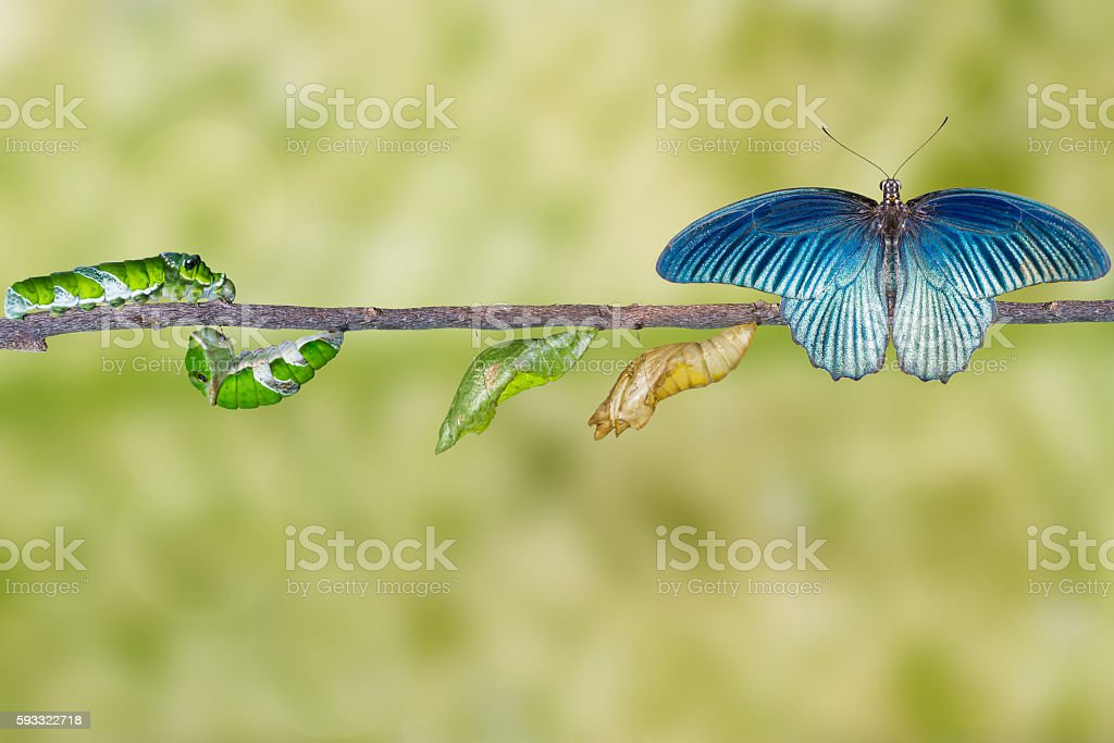 Life cycle of male great mormon butterfly from caterpillar stock photo