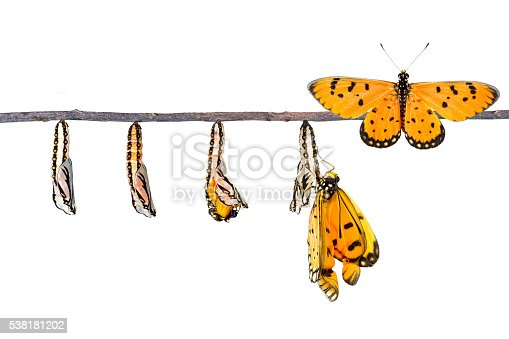 538988558 istock photo Life cycle of Tawny Coster transform from caterpillar to butterf 538181202