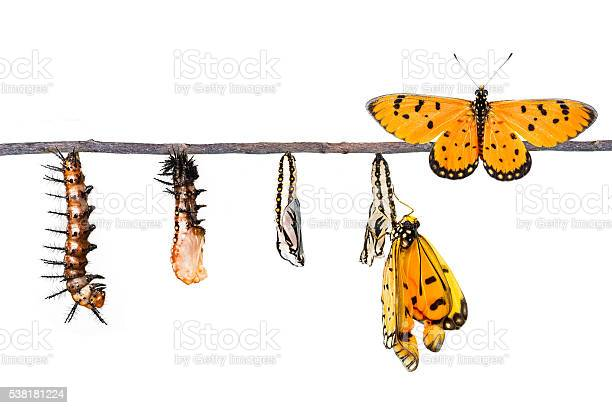 Life cycle of tawny coster transform from caterpillar to butterf picture id538181224?b=1&k=6&m=538181224&s=612x612&h=brzbp9kon3rqh4is8eviypnb2dyklnqsreujd4fhf4u=
