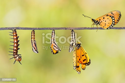 538988558 istock photo Life cycle of Tawny Coster transform from caterpillar to butterf 538989150