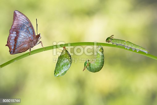 538988558istockphoto Life cycle of Tawny Rajah butterfly 505015744