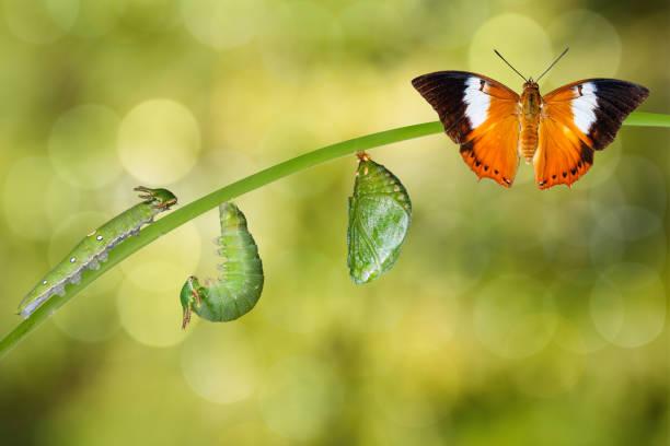 ciclo de vida das borboletas tawny e rainha cristãos das filipinas, rajah - lagarta - fotografias e filmes do acervo
