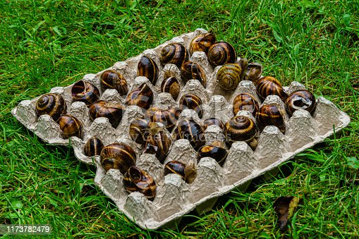 Life Hack. Grape snails in cardboard box for eggs on background of green grass. Close-up. Egg box for transporting live grape snails from gathering place to prestigious restaurants.