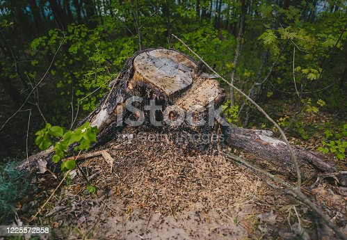Life in big ant hill and stump in the spring forest. Closeup view