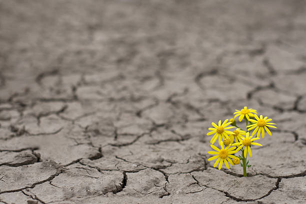 Life in extreme conditions Horizontal side view of a lonely yellow flower growing on dried cracked soil single flower stock pictures, royalty-free photos & images