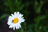 Life In The Country: a daisy (Leucanthemum Vulgare) with a bee on it