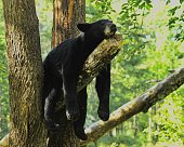 Black Bear resting after a hard day.