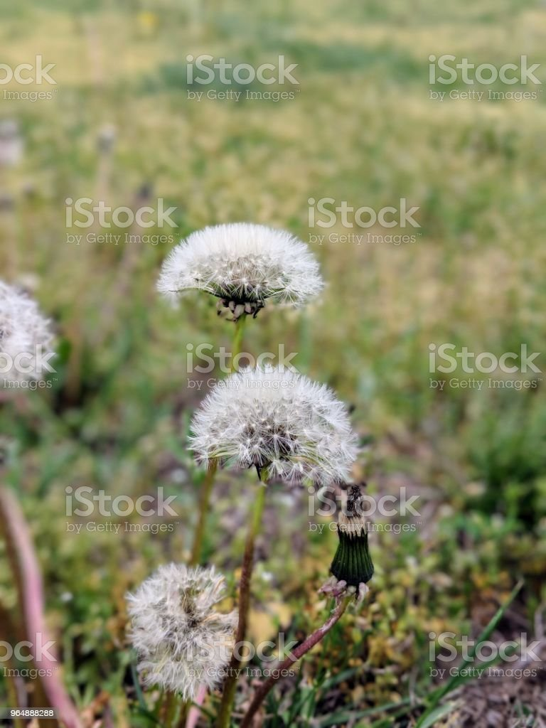 Life of the dandelion royalty-free stock photo