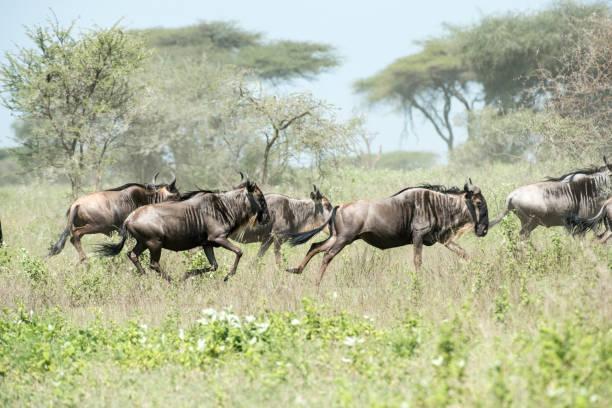 Life Run Herd of Wildebeest running wildebeest running stock pictures, royalty-free photos & images