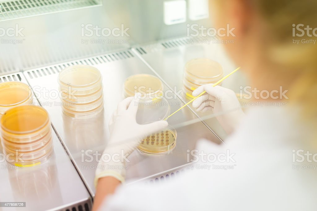 Life science researcher grafting bacteria. stock photo