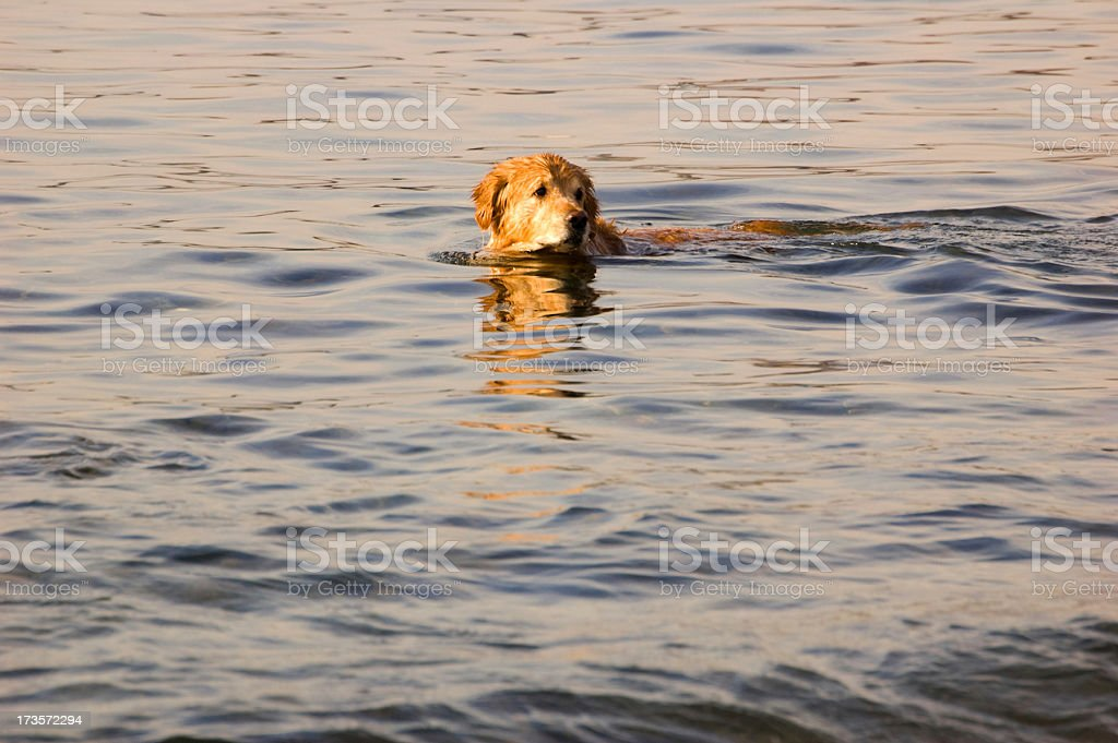 Lifeguard Dog royalty-free stock photo