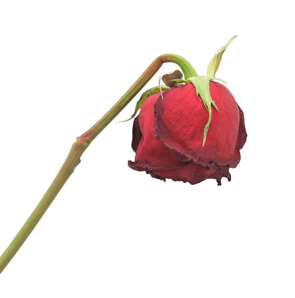 Lifeless wilted once vivacious rose against bleak background stock photo