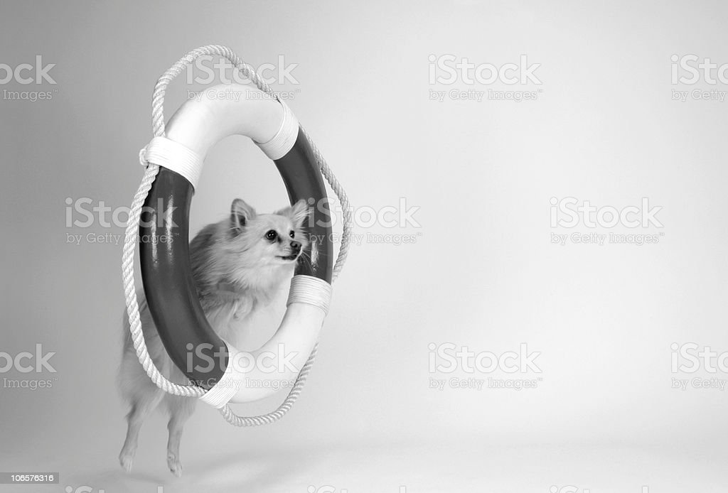 Lifesaving Pomeranian royalty-free stock photo