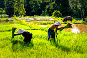 istock Lifestyle of Asian concept. Farmers farming on meadow terraces. Farmers shaking the soil from the seedlings of jasmine rice. The rice field countryside Thailand 1223968655