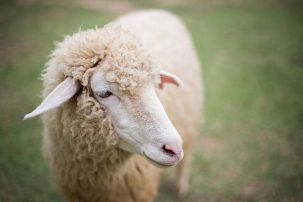 Lifestyle of sheep in the farm Lifestyle of sheep in the farm merino sheep stock pictures, royalty-free photos & images